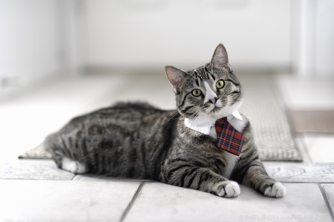 This just in! Cats with bow ties are 75% fancier than cats with no bow ties.