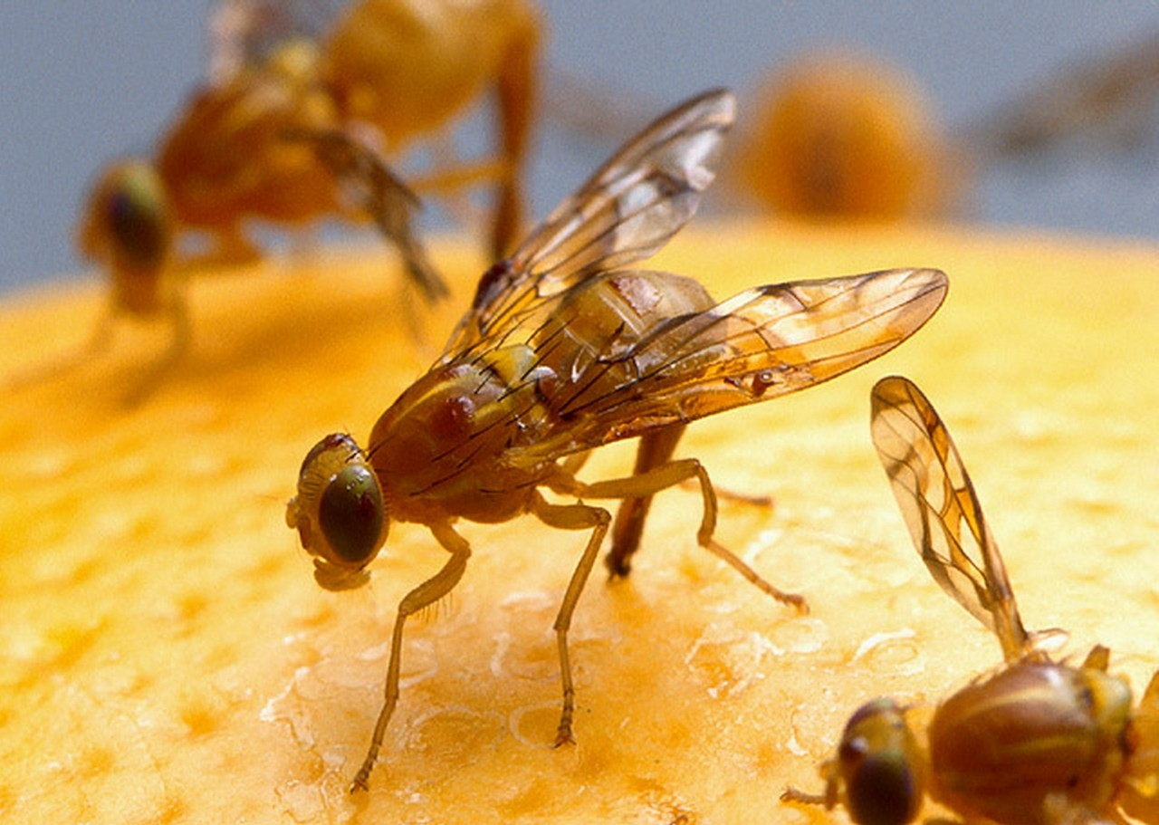 Natural Pest Control in Your Home: Fruit Flies and Ants Be gone!