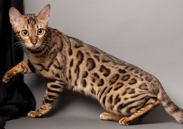WHAT YOU NEED TO KNOW ABOUT YOUR BENGAL KITTEN